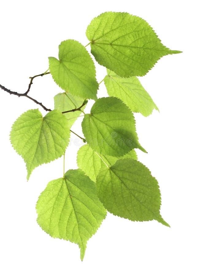 Folha verde da filial foto de stock royalty free