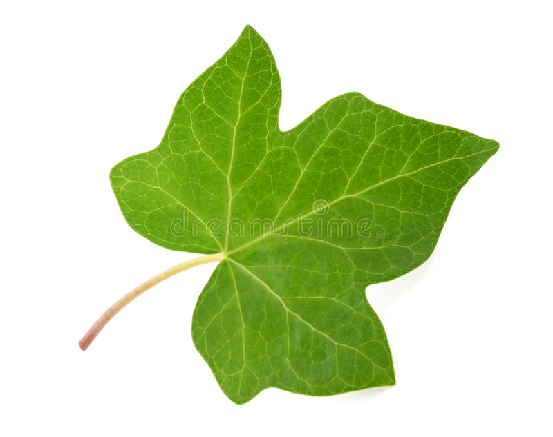 Folha verde da hera foto de stock