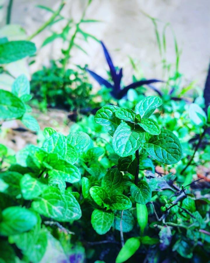 Folha verde da hortelã com efeito do borrão imagens de stock