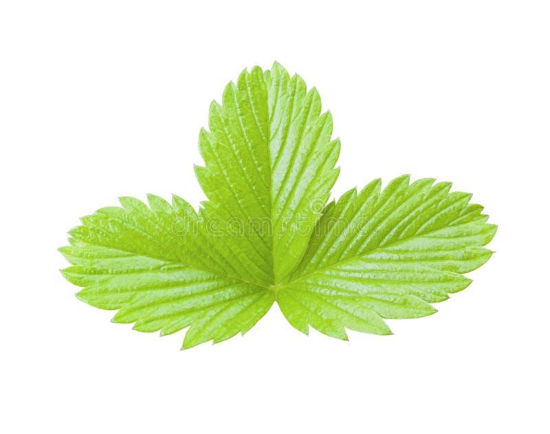 Folha verde da morango isolada Planta no fundo branco foto de stock royalty free