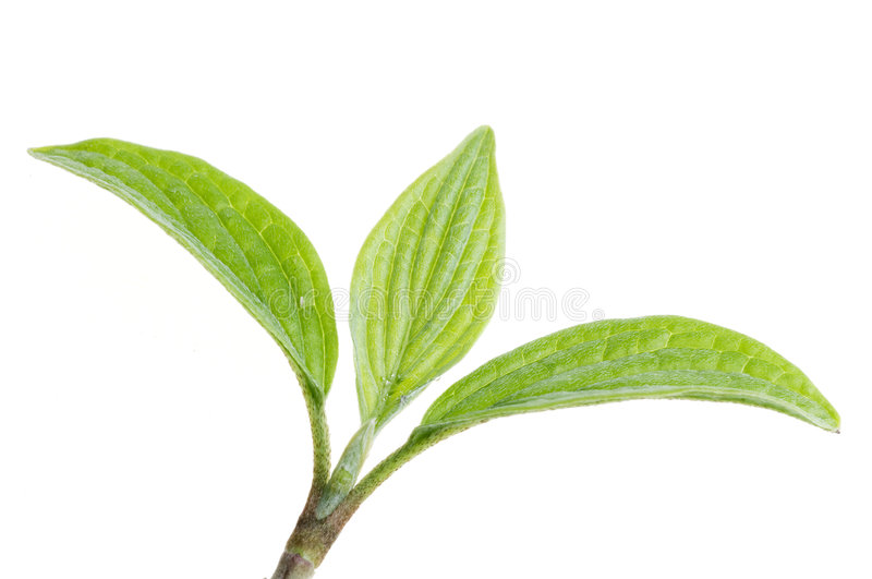 Folha verde da natureza isolada fotos de stock royalty free