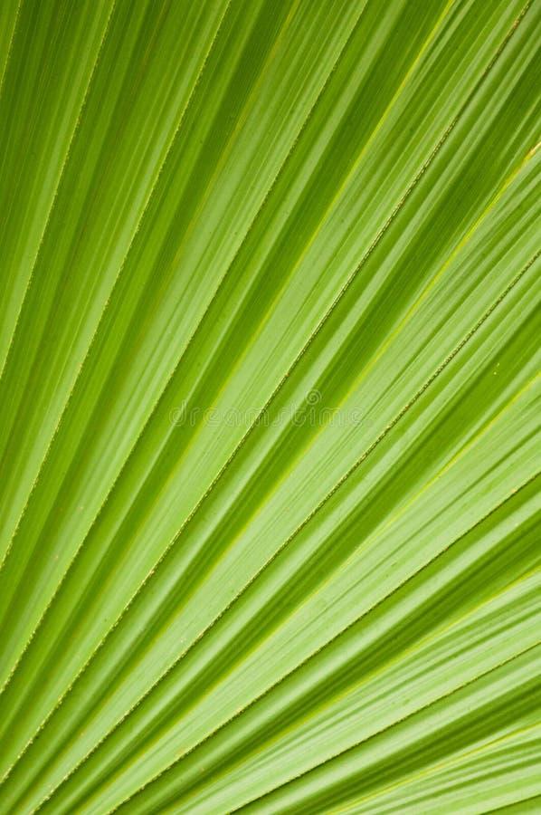 Folha verde da palmeira ilustração do vetor