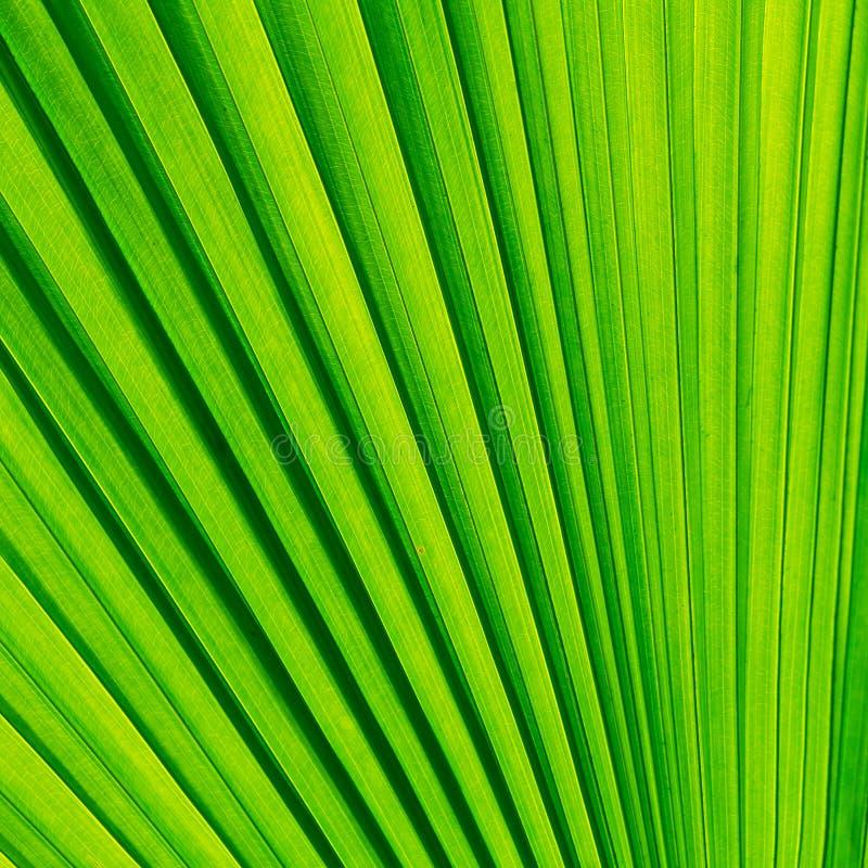 Folha verde da palmeira imagens de stock royalty free