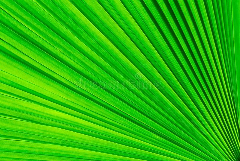 Folha verde da palmeira fotografia de stock royalty free