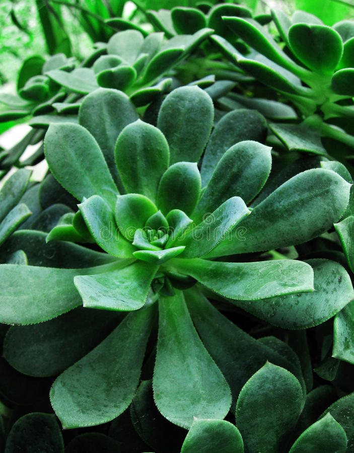 Folha verde da planta do succulent imagens de stock royalty free