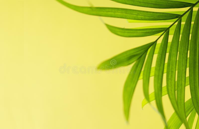 Folha verde da planta da palma da areca foto de stock
