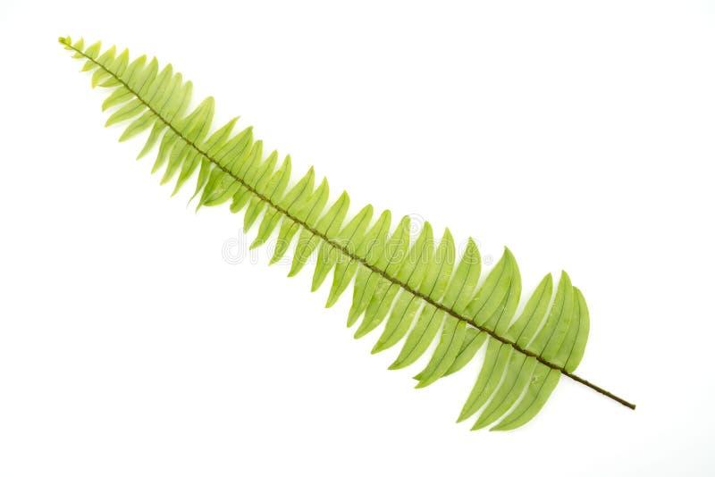 Folha verde da samambaia do close up com as gotas de água isoladas no fundo branco imagem de stock