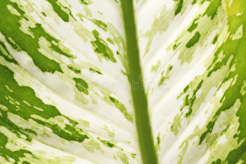 Folha verde da textura, dieffenbachia imagens de stock royalty free
