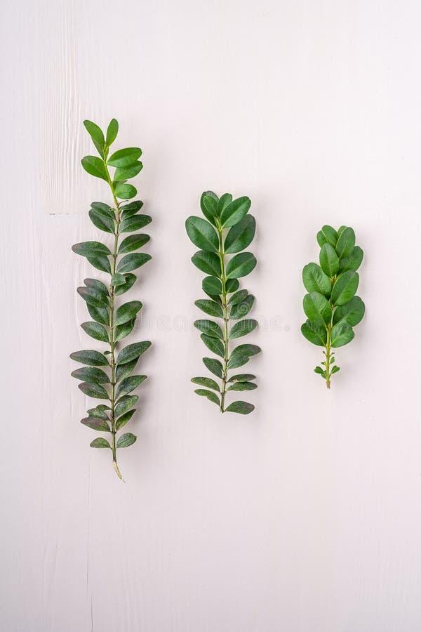 A folha verde da textura dos sempervirens do Buxus sae três ramos do molde de madeira branco do espaço da cópia do fundo vista su imagens de stock