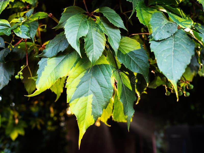 Folha verde da trepadeira da Virgínia iluminada pelo sol fotografia de stock