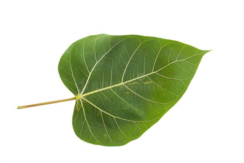 Folha verde de Bodhi imagem de stock