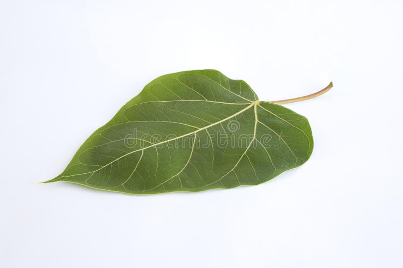 Folha verde de Bodhi imagem de stock royalty free