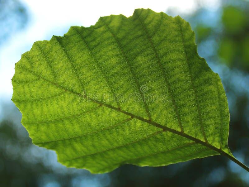 Folha verde de um fim da árvore acima contra imagens de stock royalty free