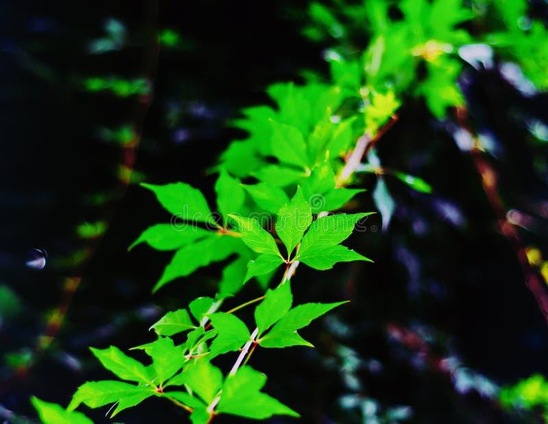 Folha verde de uvas selvagens em um ramo em um fundo escuro imagens de stock royalty free