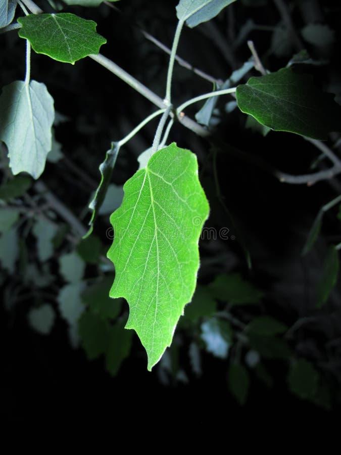Folha verde do álamo em um fundo escuro fotografia de stock