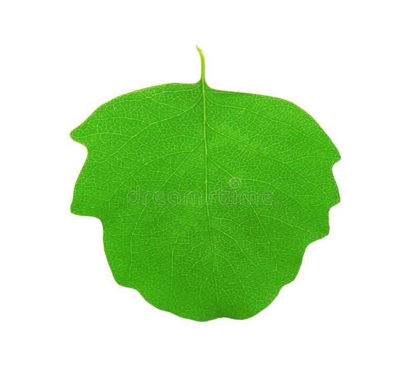 Folha verde do álamo tremedor imagens de stock