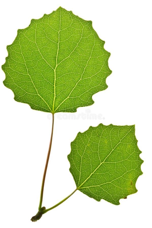 Folha verde do álamo tremedor fotos de stock