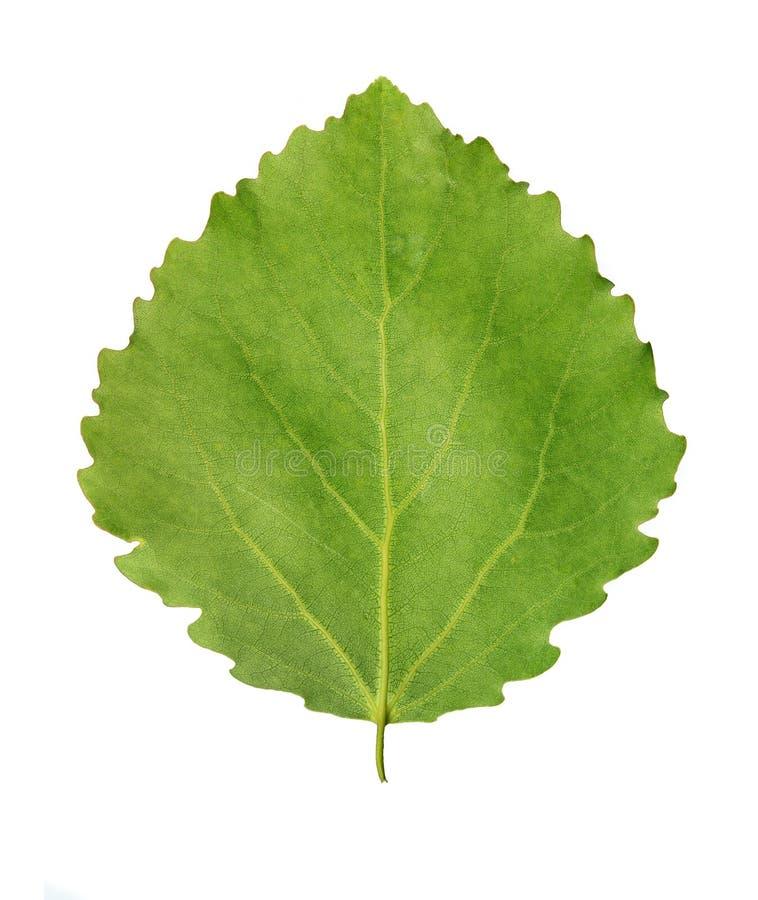 Folha verde do álamo tremedor imagem de stock royalty free