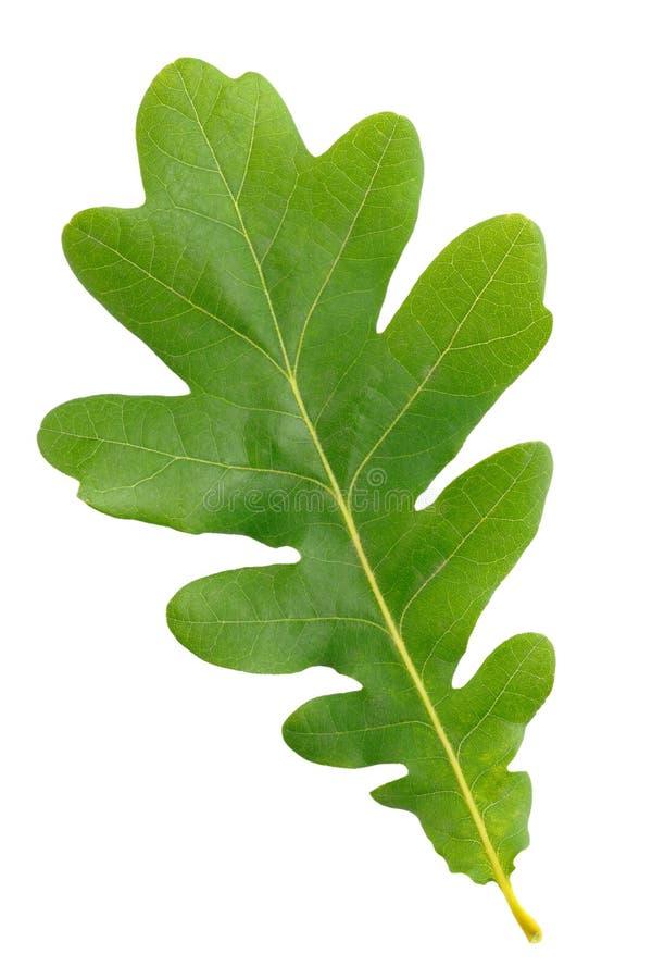 Folha verde do carvalho foto de stock royalty free