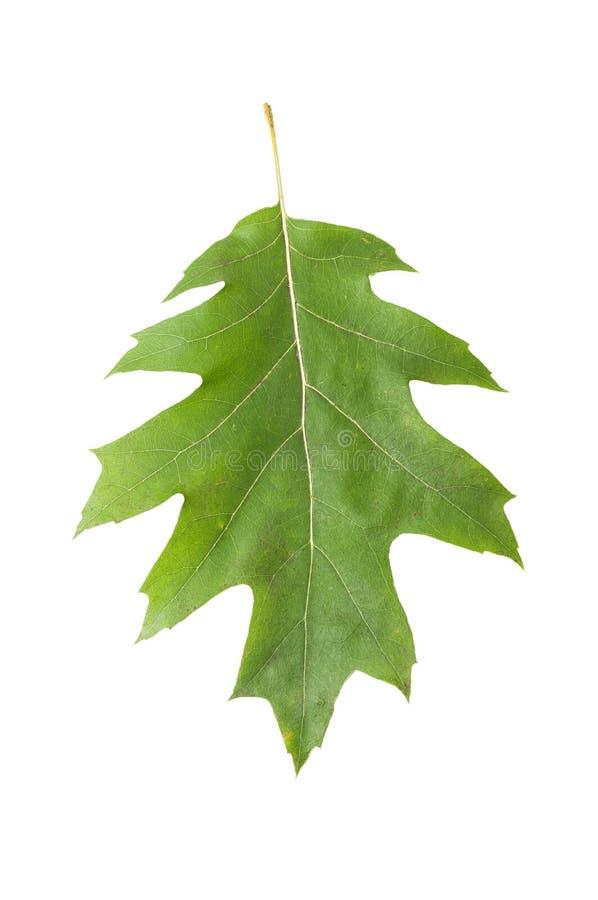 Folha verde do carvalho no fundo branco fotografia de stock