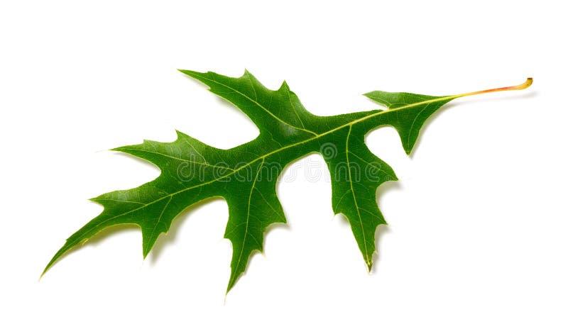 Folha verde do carvalho (palustris do Quercus) no CCB branco fotografia de stock