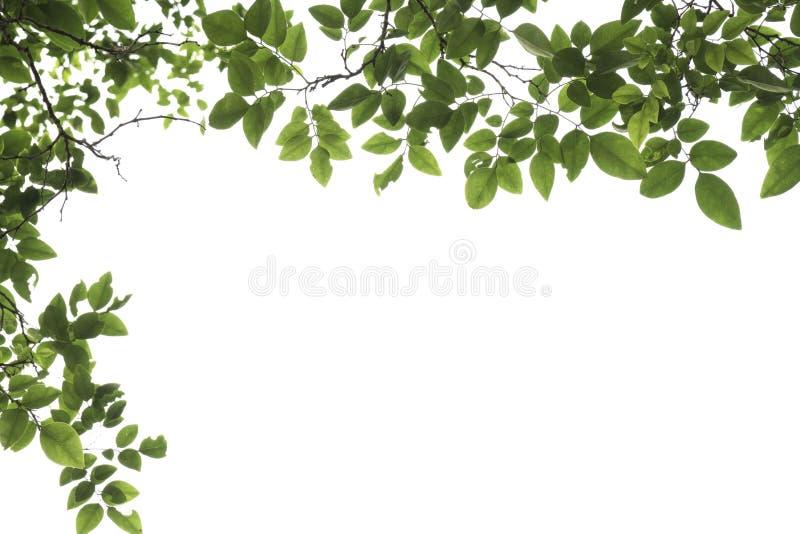 Folha verde do close up com as gotas de água isoladas no fundo branco do arquivo com trajeto de grampeamento fotos de stock royalty free