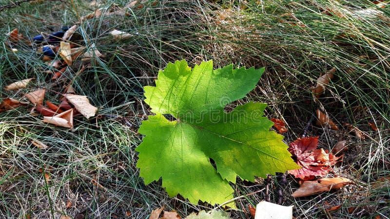 Folha verde do close up da planta da uva no fundo marrom seco da grama A folha fresca da vinha é caída para moer imagem de stock