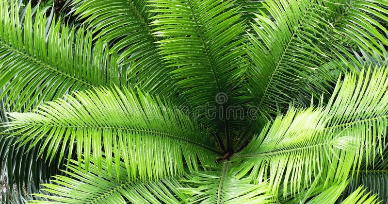 Folha verde do cycadales na floresta como o fundo imagem de stock