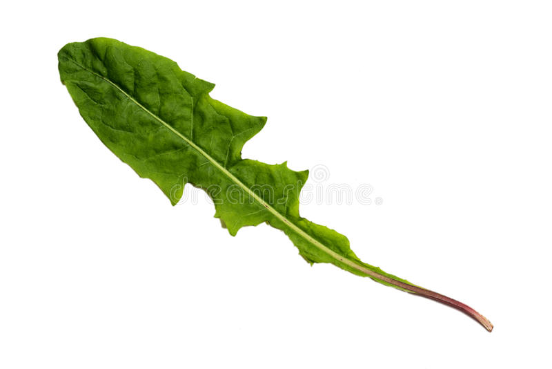 Folha verde do dente-de-leão com textura isolada no fundo branco fotos de stock