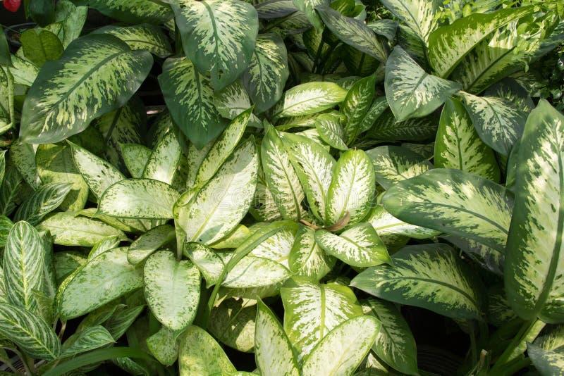 Folha verde do Dieffenbachia fotografia de stock