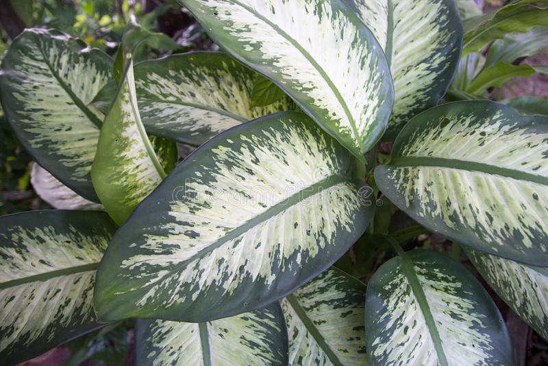 Folha verde do Dieffenbachia fotos de stock
