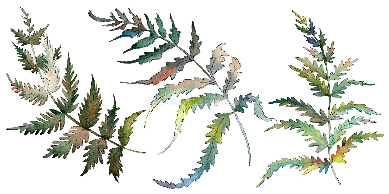 Folha verde do Fern Folha floral do jardim botânico da planta Jogo do fundo da aguarela Elemento isolado da ilustração da samamba ilustração do vetor