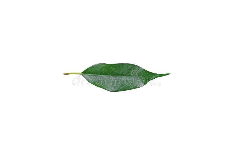 Folha verde do ficus imagem de stock