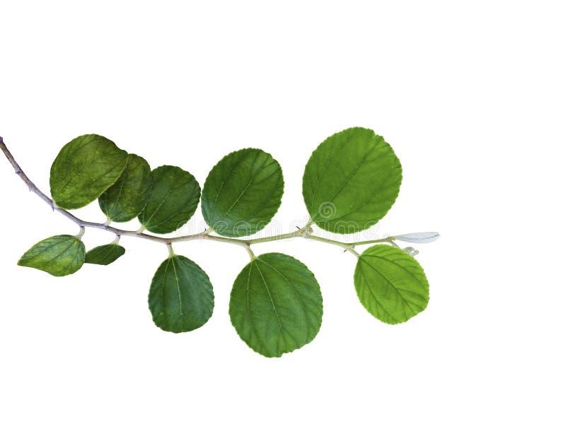 Folha verde do jujuba isolada fotos de stock