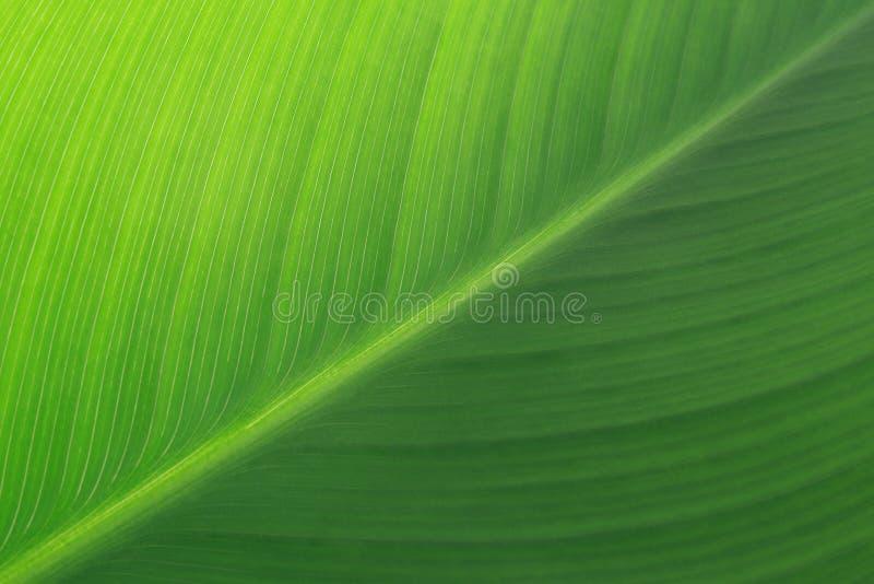Folha verde do lírio fotos de stock
