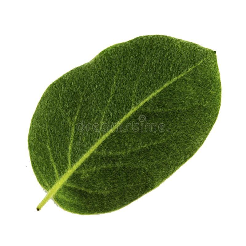 Folha verde do marmelo isolada no fundo branco, lado de baixo da folha fotografia de stock