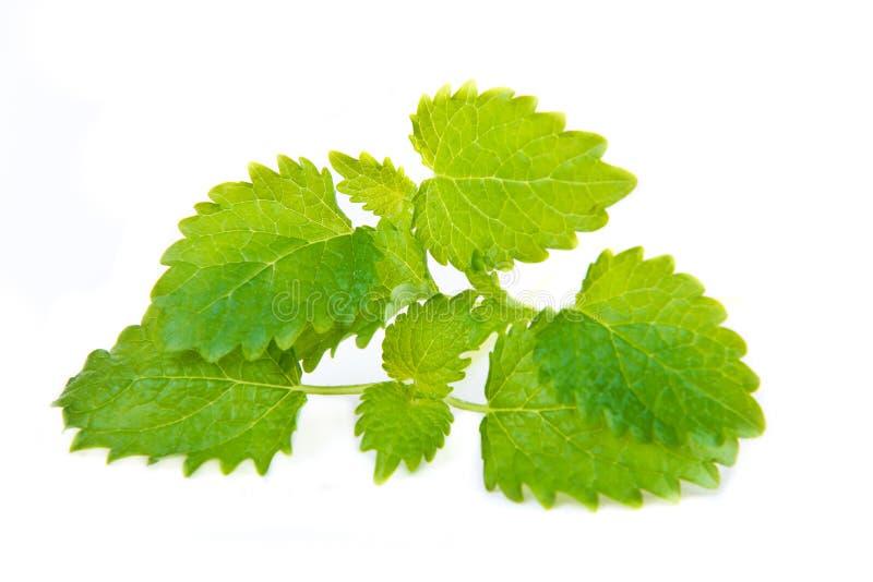 Folha verde do melissa fotografia de stock