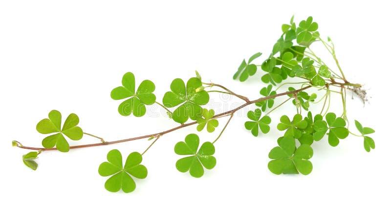 Folha verde do trevo no branco imagem de stock royalty free