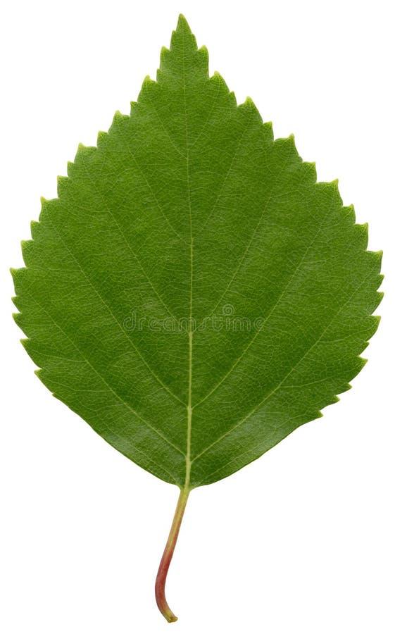 Folha verde do vidoeiro foto de stock
