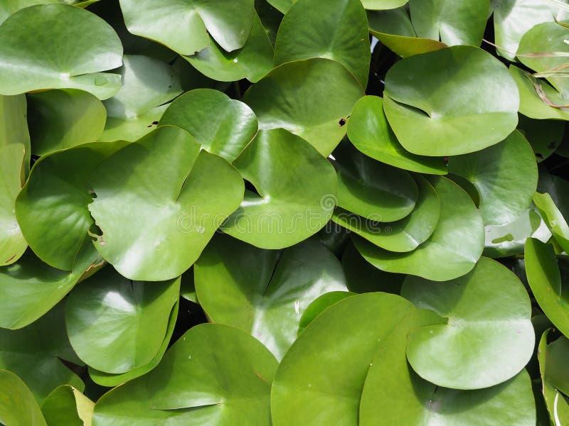 Folha verde dos lótus imagem de stock
