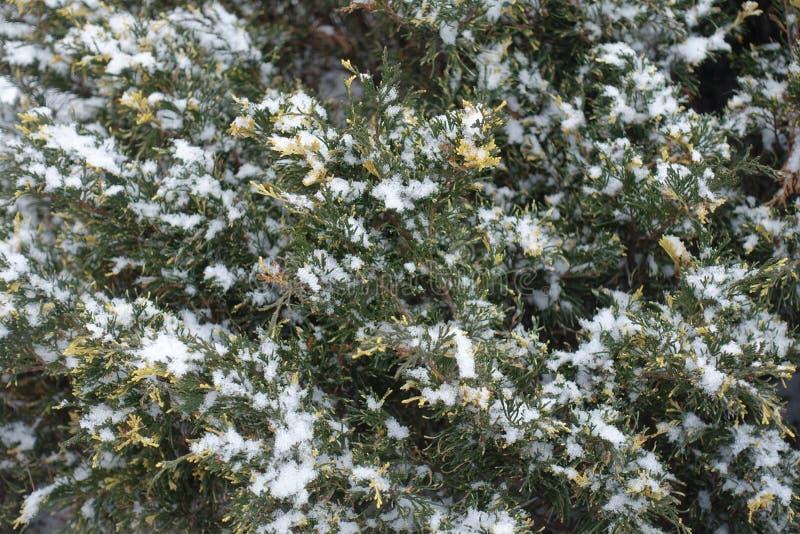 Folha verde e amarela do zimbro coberta com a neve fotos de stock royalty free
