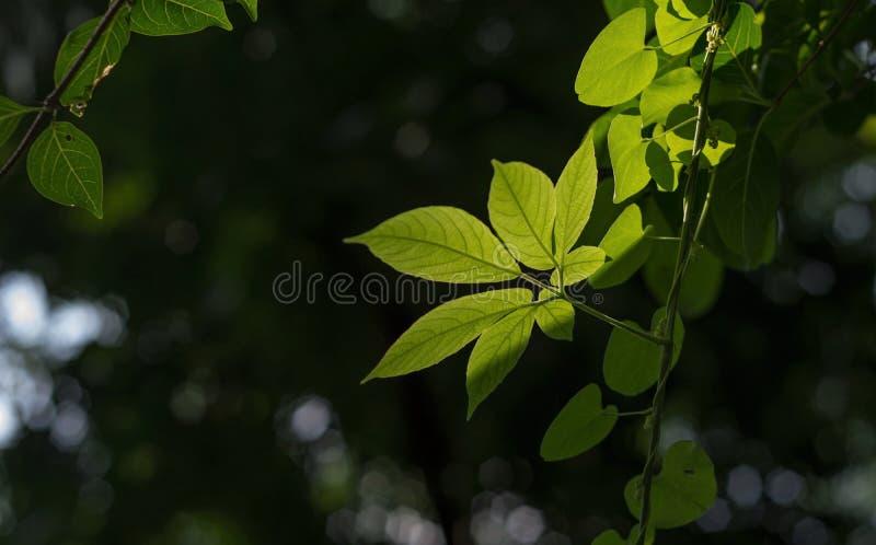 Folha verde e luz traseira fotos de stock royalty free