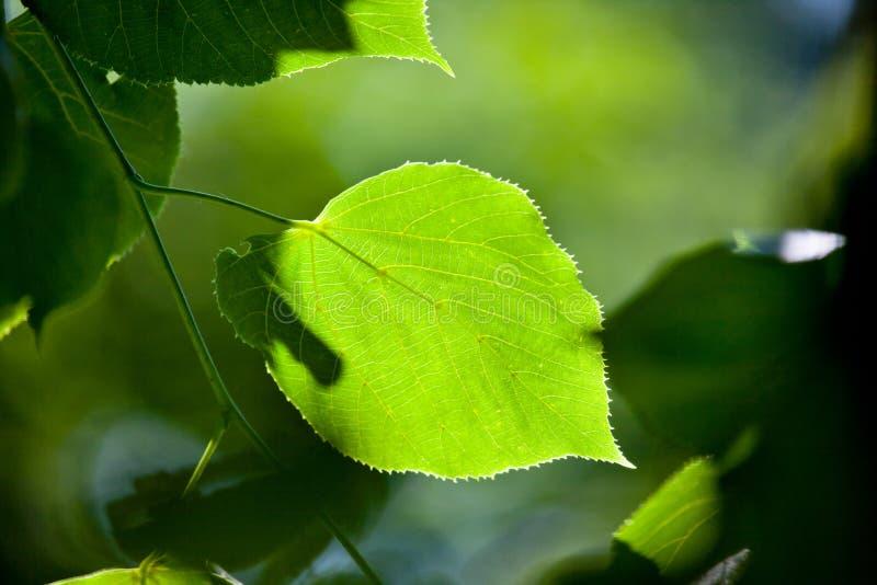 Folha verde, foco raso fotos de stock royalty free