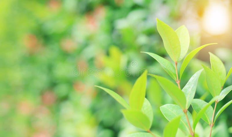 Folha verde fresca da árvore no fundo borrado no jardim do verão com raios do sol A natureza do close-up sae no campo para o uso  imagens de stock