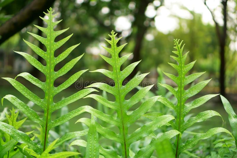 A folha verde fresca da samambaia da verruga de Havaí, chamou a samambaia do monarca ou a samambaia dos almíscares imagem de stock royalty free