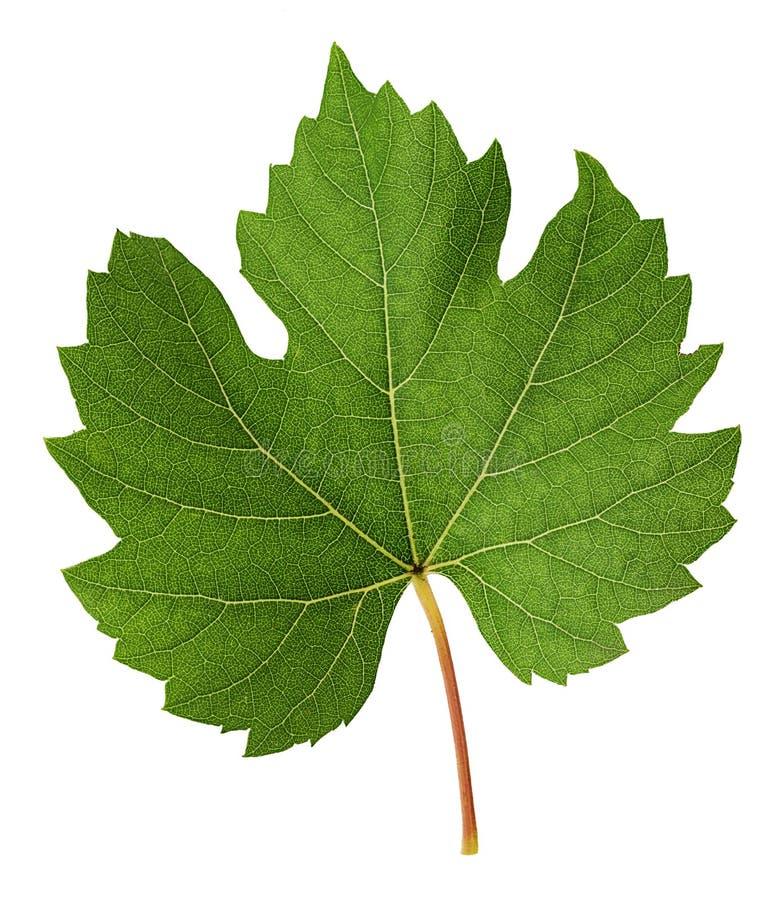 Folha verde fresca da videira fotos de stock royalty free