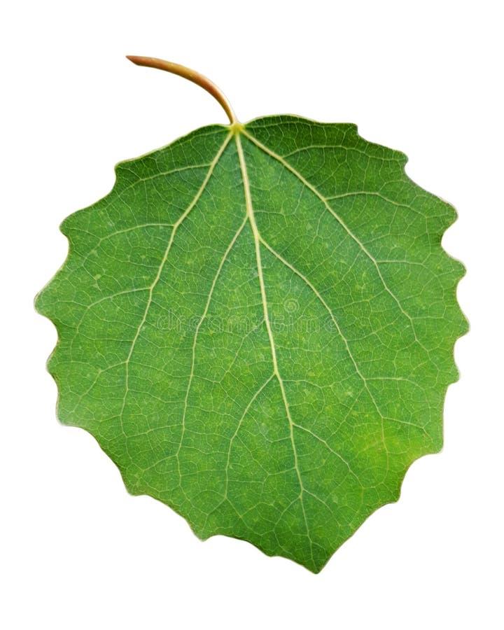 Folha verde fresca do álamo tremedor com haste foto de stock
