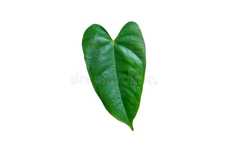 Folha verde grande de uma planta fotos de stock