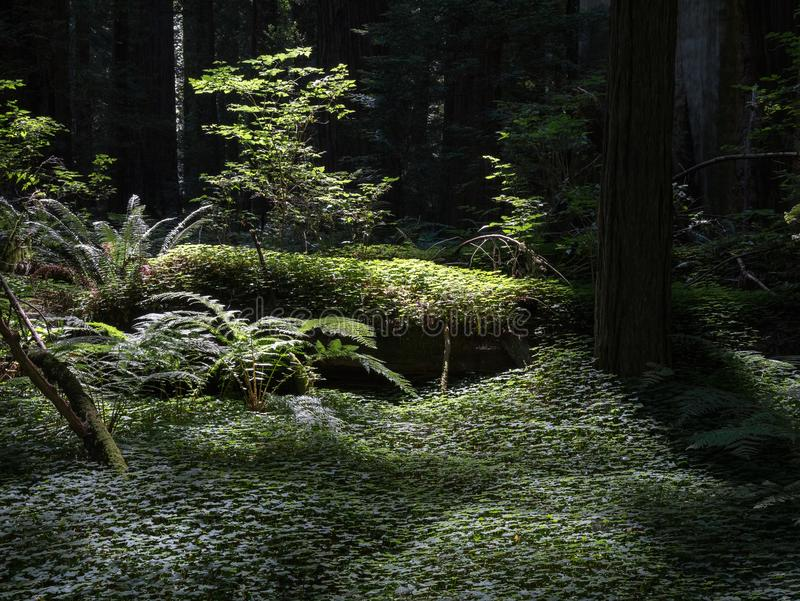 Folha verde grossa, floresta da sequoia vermelha de Califórnia foto de stock