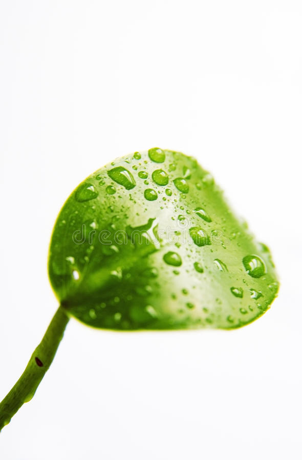 Folha verde isolada foto de stock royalty free